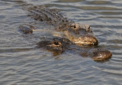 Gator Love: Safe Ways to Experience Alligator Mating Season