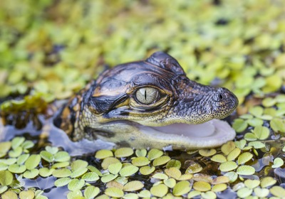 5 Fun Facts About Baby Alligators