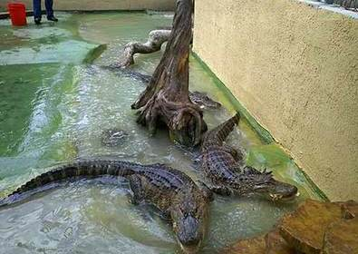 A Fun Fall Update from The Black Hammock's Alligators